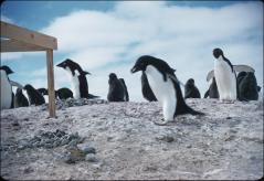 Thumbnail of Adelie penguin rookery