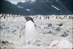 Thumbnail of Adelie penguin on nest