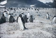 Thumbnail of Adult penguins with black-coated babies