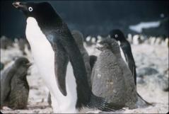 Thumbnail of Baby penguins with adult