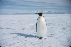 Thumbnail of Emperor penguin, largest one, to about 4-feet tall