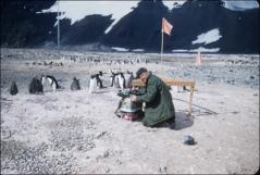 Thumbnail of William J. Cromie and Adelie penguin rookery (scientist and penguins study each other)