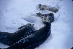 Thumbnail of Seal explores ice shelf