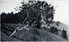 Thumbnail of Tree on hillside